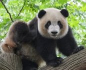 qi gong panda relaxed and open